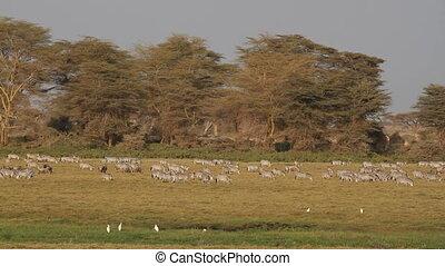 Herd of plains (Burchells) zebras and wildebeest grazing, Amboseli National Park, Kenya