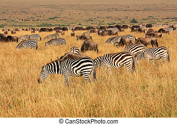 Zebras and wildebeest grazing