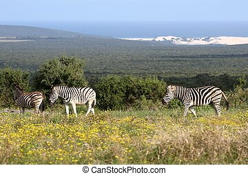 Zebras at the Coast - Plains zebras in wild flowers with the...