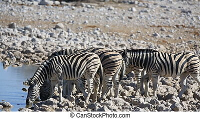Zebras at waterhole - Closeup view of group of zebras at...