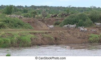 Zebra's beside riverbank - Zebra's running beside Mara...