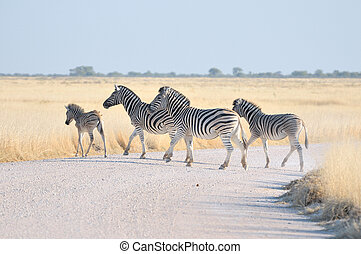 Zebras crossing a road in the Etosha National Park