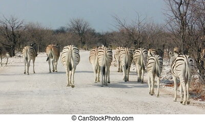 Zebras crossing dusty road in african national park