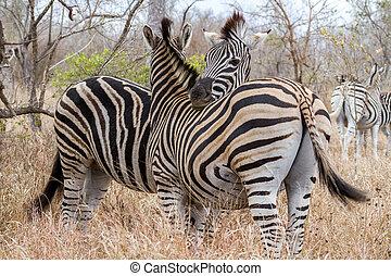 Zebras Cuddling at Kruger National Park, South Africa
