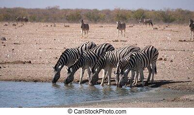Zebras Drinking at Waterhole, Etosha National Park, Namibia