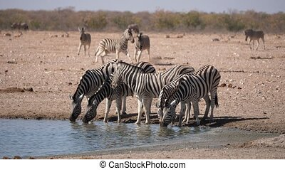 Zebras Drinking at Waterhole in Arid Plain of the Etosha Pan, Etosha National Park, Namibia, Africa