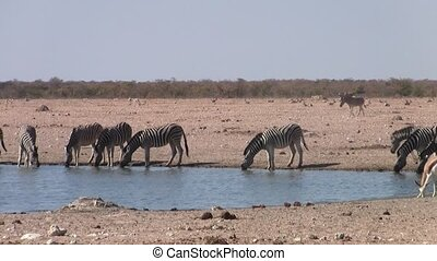 Zebras Drinking at Waterhole in Etosha