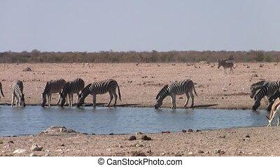 Zebras Drinking at Waterhole in Etosha