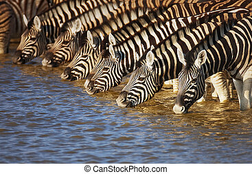 Zebras drinking - Herd of zebras drinking water in Etosha;...