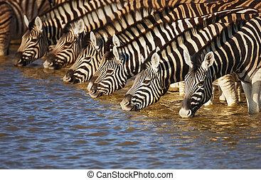 Herd of zebras drinking water in Etosha; Equus burchell's