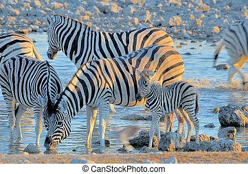 Zebras drinking water at sunset, Okaukeujo waterhole
