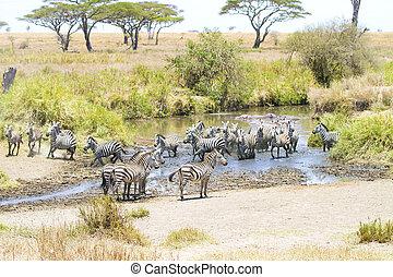 Zebras drinks water in Serengeti - African zebras drinks...