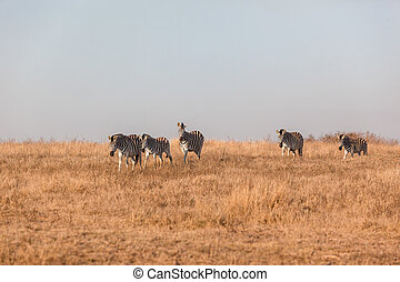 Zebra's Dry Landscape