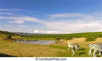 Zebras eating at waterhole