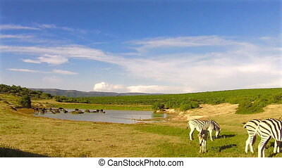 Zebras eating at waterhole - Group of zebras eating near a...