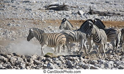 Zebras fighting - Closeup view of group of zebras fighting