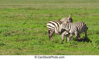 zebras fighting in Ndutu