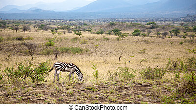 Zebras graze in the savannah of Kenya