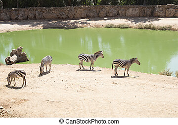 Zebras grazing in Lake