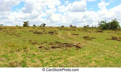 animal, nature and wildlife concept - zebras grazing in maasai mara national reserve savanna at africa