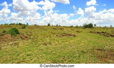 zebras grazing in savanna at africa
