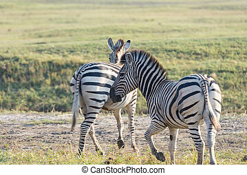 Zebras herd at Etosha National Park, travel destination in Namibia. Dust, soft light.