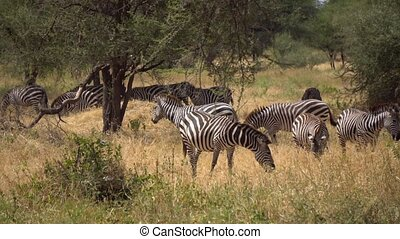 Zebras Herd Eating Grass in Savanna of Tanzania, Slow Motion