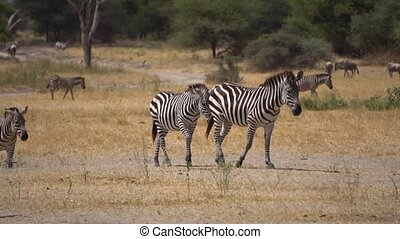 Zebras Herd in Savanna of Tanzania, Slow Motion. African Safari and Wild Animals