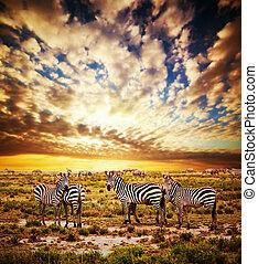 Zebras herd on African savanna at sunset. - Zebras herd on...