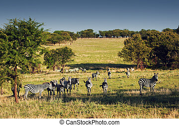 Zebras herd on African savanna.