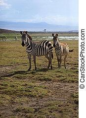 Zebras herd on savanna