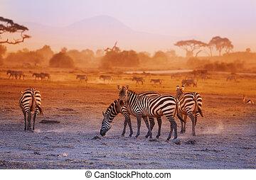 Zebras herd on savanna at sunset, Amboseli, Africa