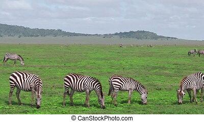 Zebras herd with little - African zebras with little zedra...