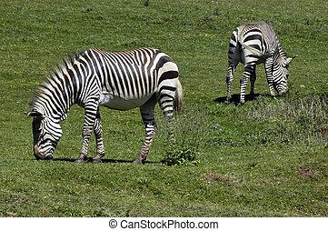 Zebra's in a field