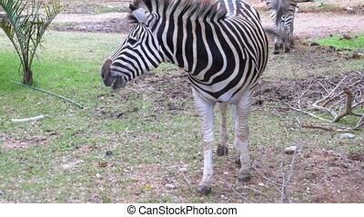 Zebras in Khao Kheow Open Zoo. Thailand.