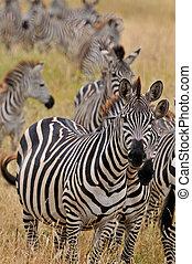 Zebras in Tarangire National Park Tanzania