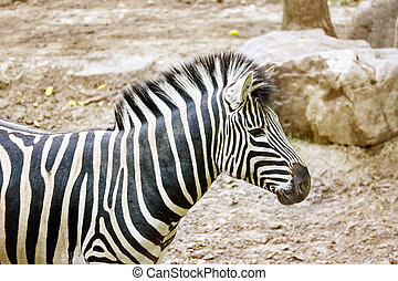 Zebras in their natural habitat.