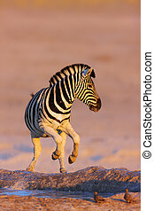 Zebras jump from waterhole - Zebra jumping out of waterhole;...