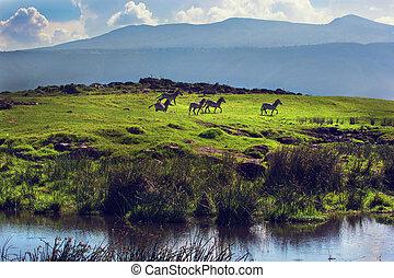 Zebras on green grassy hill. Ngorongoro, Tanzania, Africa - ...