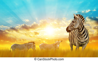 Zebras on the African savannah at sunset.