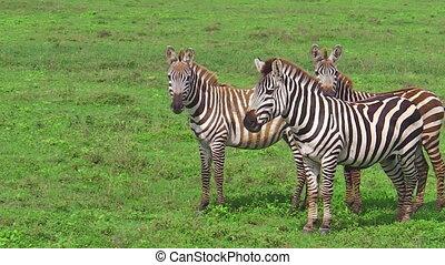 Zebras on the grass - An African zebras eating fresh grass...