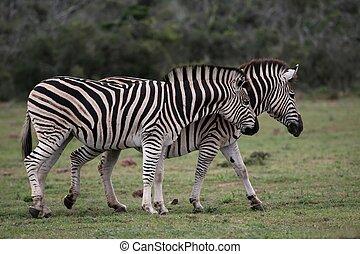 Zebras - Two Burchel\'s or plains zebras walking together