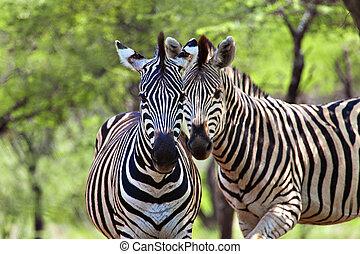 zebras - Two male zebra, in the natural African habitat