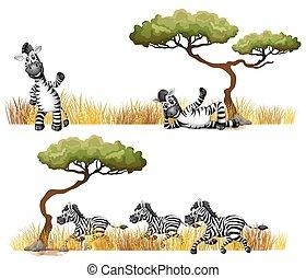 Zebras resting in the field
