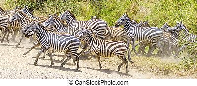 Zebras running at the plains of Serengeti - African zebras...