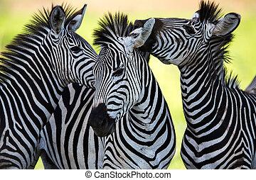 zebras, socialising, e, beijando