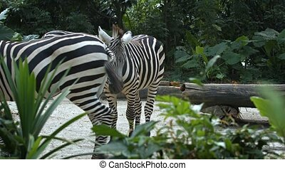 Zebras spend the day in their enclosure. Full HD 1080p footage