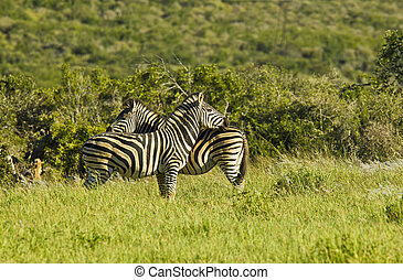 Zebras standing in long green grass
