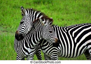 Zebras - Two zebras in Zambia National Park.