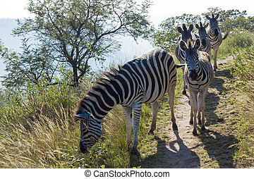 Zebras Walking Along Hiking Trail in Nature Reserve